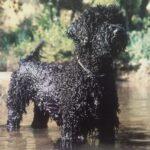 Toraq Portuguese Water Dogs Kennel logo
